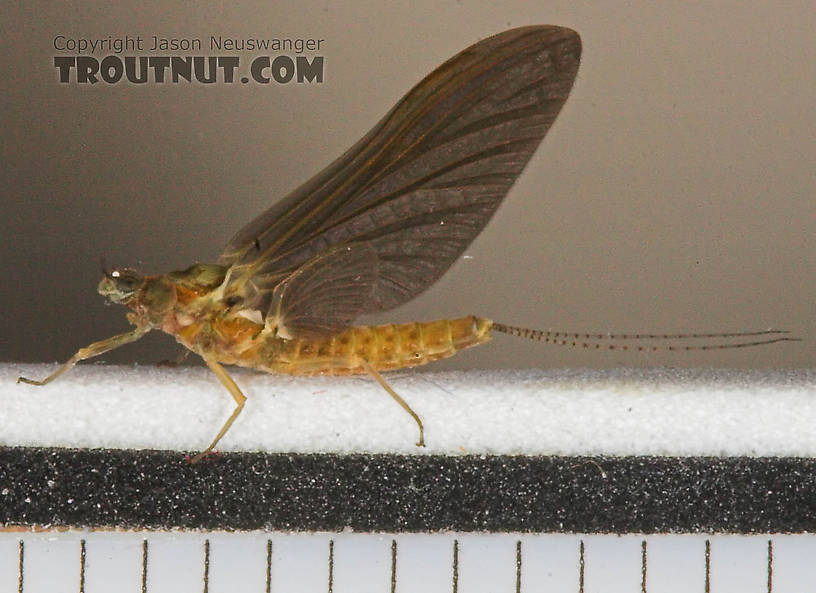 Female Ephemerella subvaria (Hendrickson) Mayfly Dun from the West Branch of the Delaware River in New York