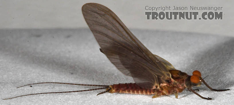 Male Ephemerella subvaria (Hendrickson) Mayfly Dun from the West Branch of the Delaware River in New York