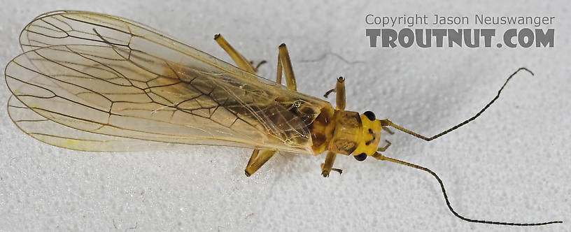 Perlodidae (Springflies and Yellow Stones) Stonefly Adult from the Beaverkill River in New York