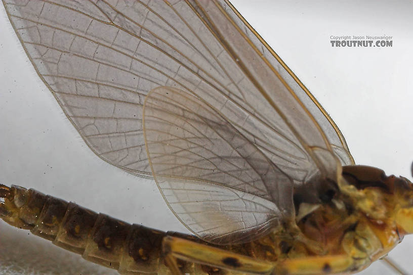 Male Epeorus pleuralis (Quill Gordon) Mayfly Dun from the Beaverkill River in New York