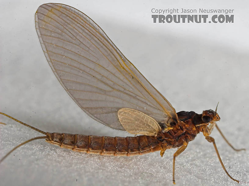 Female Paraleptophlebia (Blue Quills and Mahogany Duns) Mayfly Dun from the Beaverkill River in New York