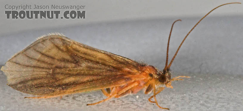 Brachycentrus appalachia (Apple Caddis) Caddisfly Adult from the Beaverkill River in New York
