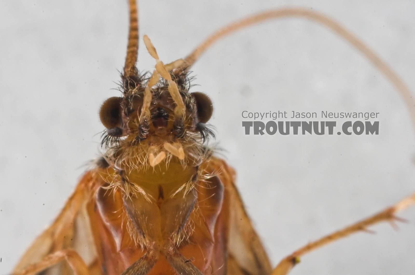 Brachycentrus appalachia (Apple Caddis) Caddisfly Adult from the Beaverkill River in New York