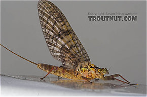 Female Maccaffertium (March Browns and Cahills) Mayfly Adult