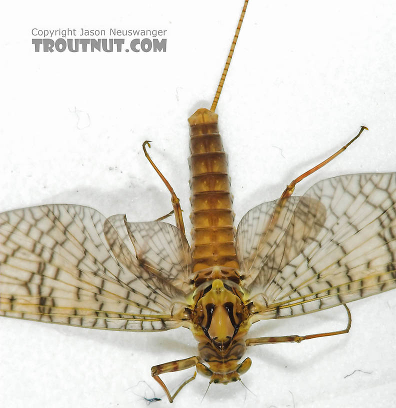 Female Maccaffertium (March Browns and Cahills) Mayfly Adult from the Namekagon River in Wisconsin