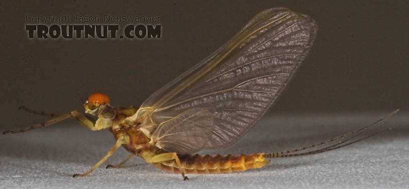 Male Ephemerella invaria (Sulphur Dun) Mayfly Dun from the Namekagon River in Wisconsin