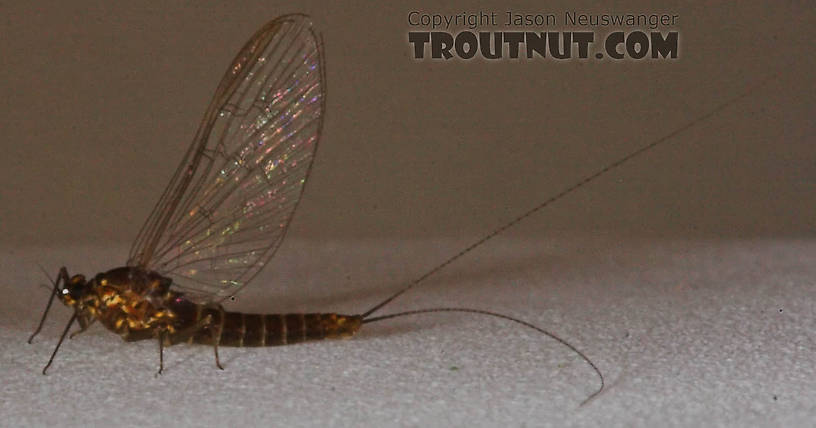 Female Baetidae (Blue-Winged Olives) Mayfly Spinner from the Namekagon River in Wisconsin