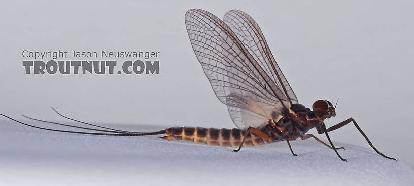 Male Leptophlebia cupida (Black Quill) Mayfly Dun from the Teal River in Wisconsin