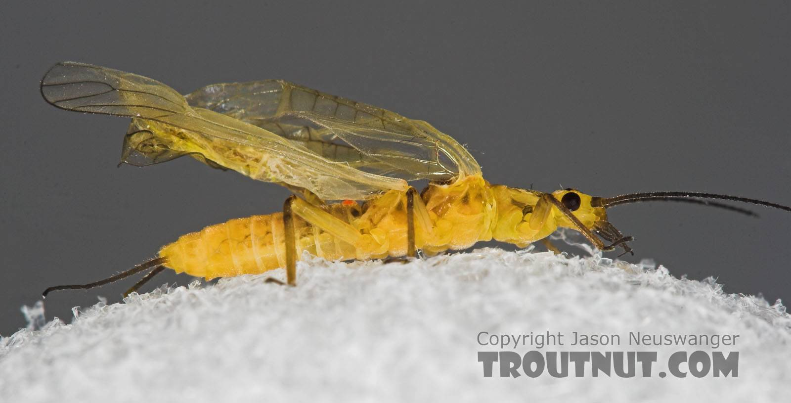 Isoperla (Stripetails and Yellow Stones) Stonefly Adult from Salmon Creek in New York