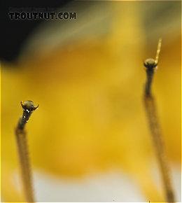 Isoperla (Stripetails and Yellow Stones) Stonefly Adult