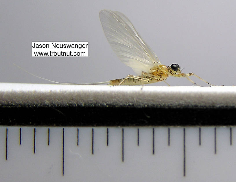 Male Epeorus vitreus (Sulphur) Mayfly Dun from the Beaverkill River in New York