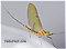 Male Stenacron (Light Cahills) Mayfly Dun