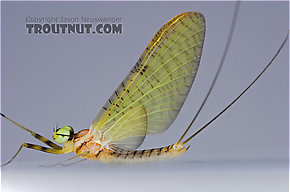 Male Stenacron (Light Cahills) Mayfly Dun