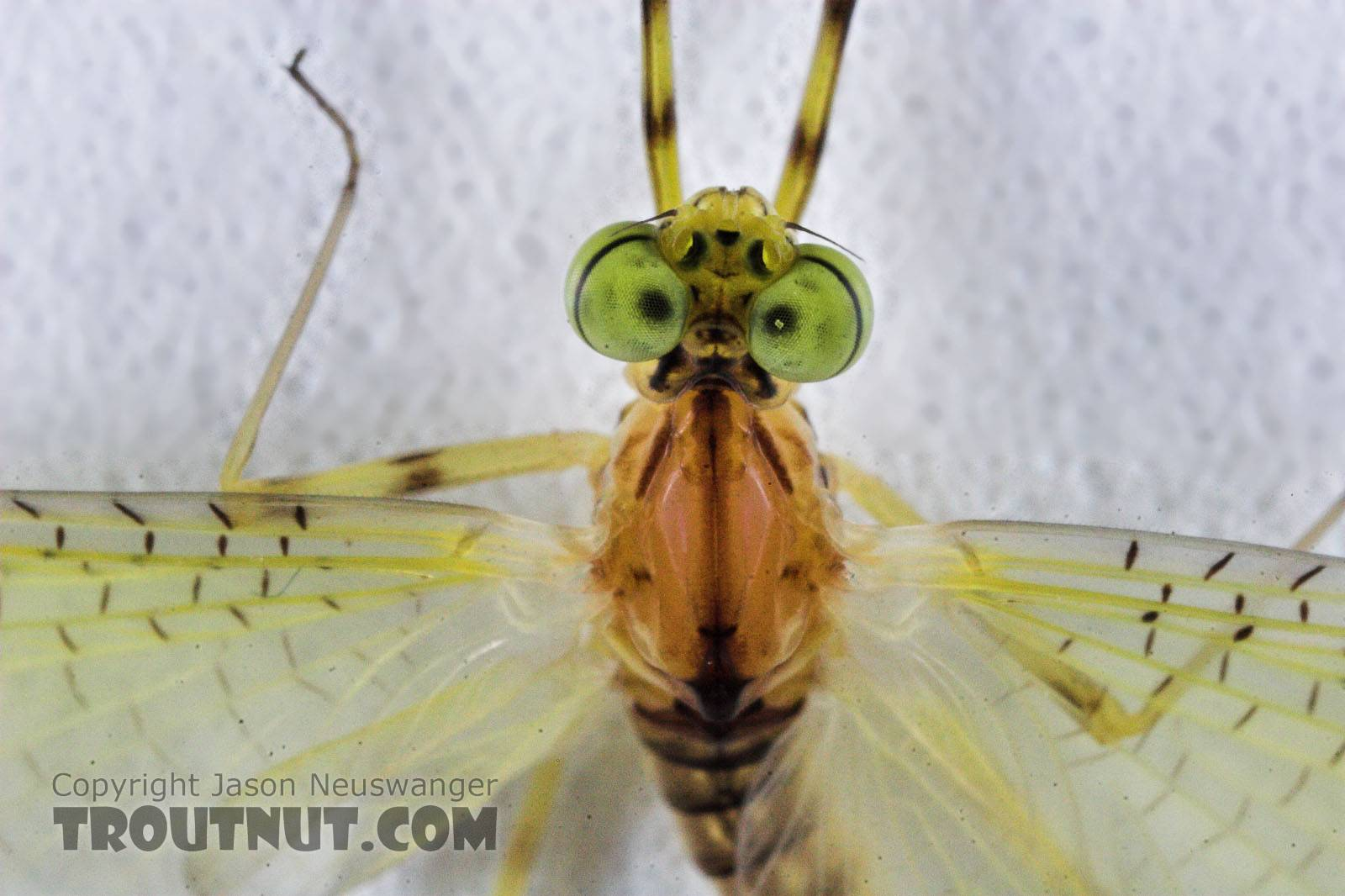 Male Stenacron (Light Cahills) Mayfly Dun from the Teal River in Wisconsin