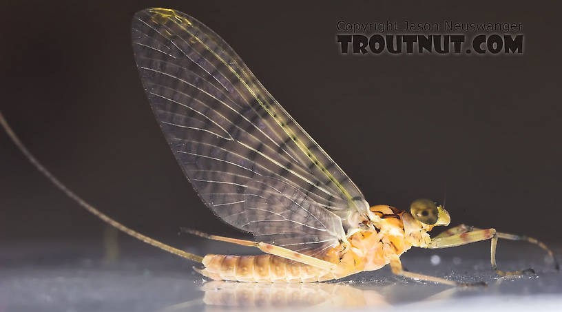 Male Maccaffertium (March Browns and Cahills) Mayfly Dun from the Namekagon River in Wisconsin