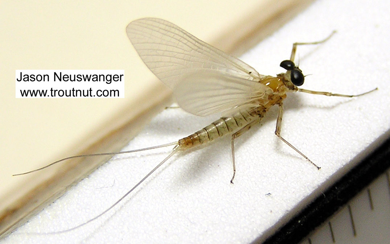 Male Epeorus vitreus (Sulphur) Mayfly Dun from the Beaverkill River in New York