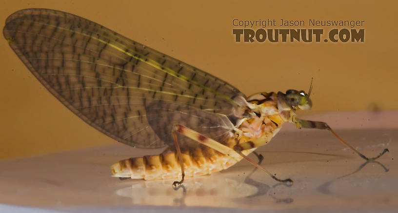 Female Maccaffertium (March Browns and Cahills) Mayfly Dun from the Namekagon River in Wisconsin