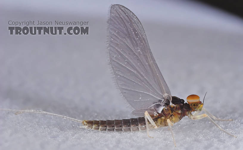 Male Baetidae (Blue-Winged Olives) Mayfly Dun from the Teal River in Wisconsin