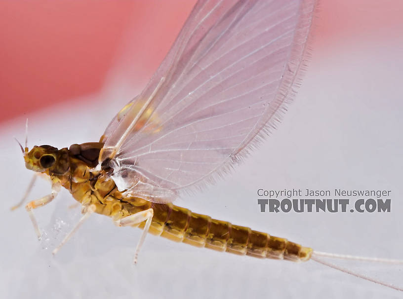 Female Baetidae (Blue-Winged Olives) Mayfly Dun from the Teal River in Wisconsin