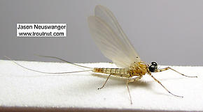 Male Epeorus vitreus (Sulphur) Mayfly Dun