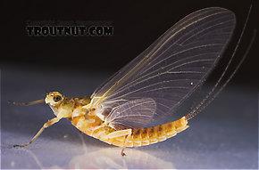 Female Ephemerella invaria (Sulphur Dun) Mayfly Dun