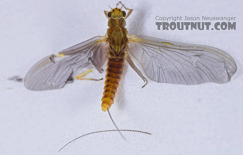 Female Ephemerella invaria (Sulphur Dun) Mayfly Dun from the Teal River in Wisconsin