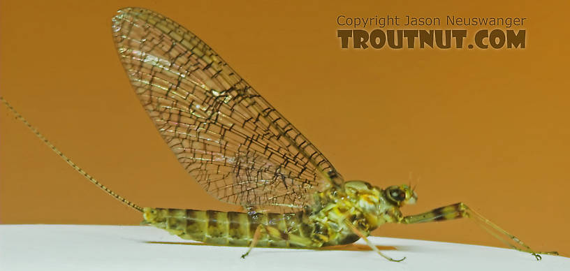 Female Maccaffertium vicarium (March Brown) Mayfly Spinner from the Namekagon River in Wisconsin
