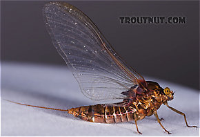 Female Baetisca laurentina (Armored Mayfly) Mayfly Spinner
