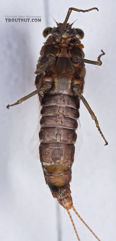 Female Baetisca laurentina (Armored Mayfly) Mayfly Spinner from the Namekagon River in Wisconsin