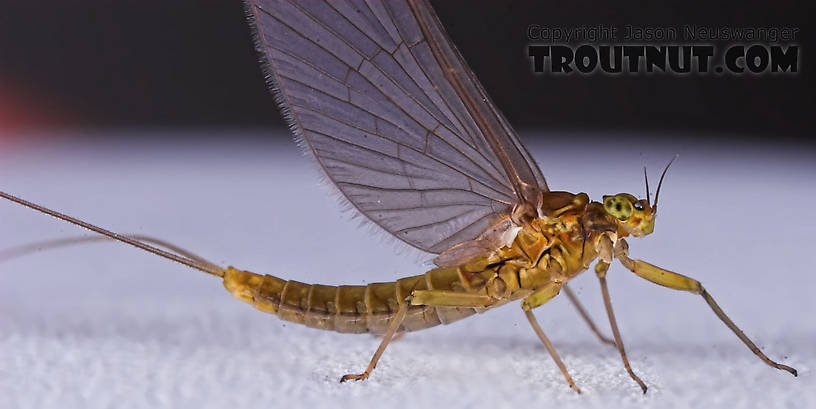 Female Baetidae (Blue-Winged Olives) Mayfly Dun from the Namekagon River in Wisconsin