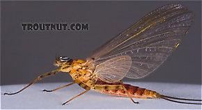 Female Epeorus vitreus (Sulphur) Mayfly Dun