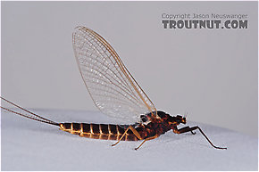 Female Leptophlebia cupida (Borcher Drake) Mayfly Spinner
