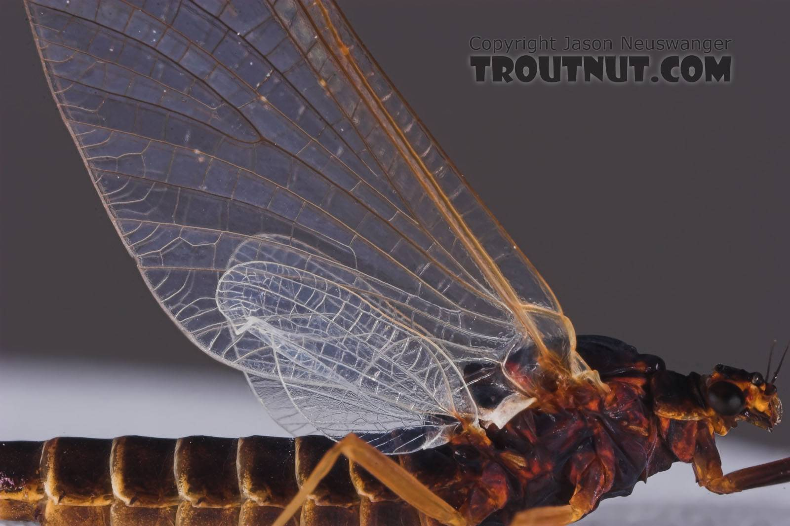 Female Leptophlebia cupida (Borcher Drake) Mayfly Spinner from the Namekagon River in Wisconsin