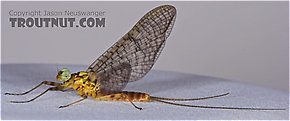 Male Maccaffertium vicarium (March Brown) Mayfly Dun
