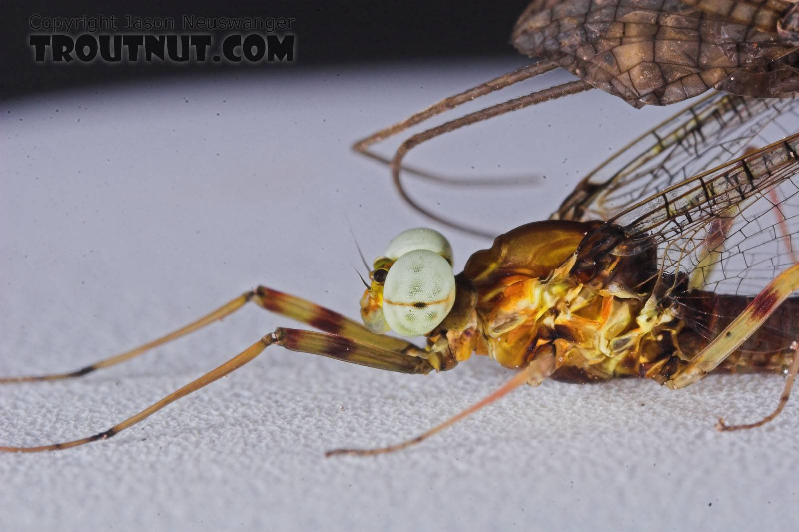 Male Maccaffertium vicarium (March Brown) Mayfly Spinner from the Namekagon River in Wisconsin