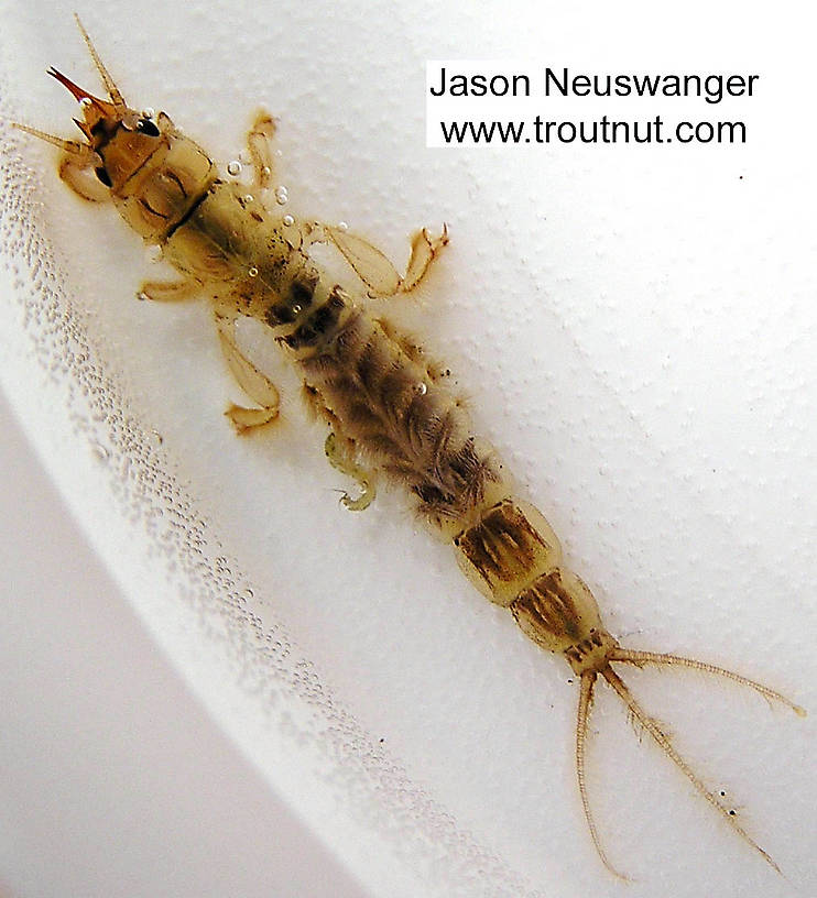 Ephemera simulans (Brown Drake) Mayfly Nymph from the Namekagon River in Wisconsin