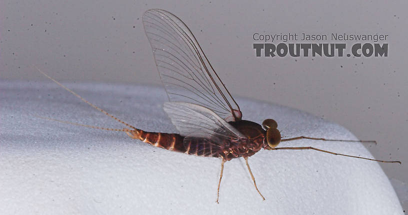 Male Baetisca laurentina (Armored Mayfly) Mayfly Spinner from the Bois Brule River in Wisconsin
