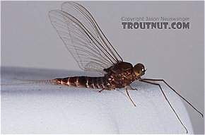 Male Baetisca laurentina (Armored Mayfly) Mayfly Spinner