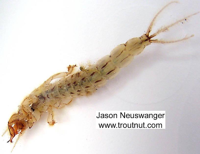 Ephemera simulans (Brown Drake) Mayfly Nymph from the Namekagon River in Wisconsin