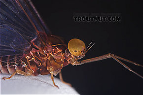 Male Baetisca laurentina (Armored Mayfly) Mayfly Dun