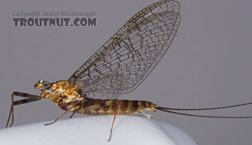 Female Maccaffertium vicarium (March Brown) Mayfly Spinner from the Bois Brule River in Wisconsin