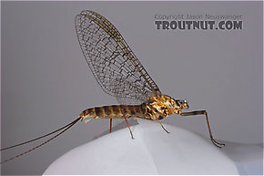 Female Maccaffertium vicarium (March Brown) Mayfly Spinner