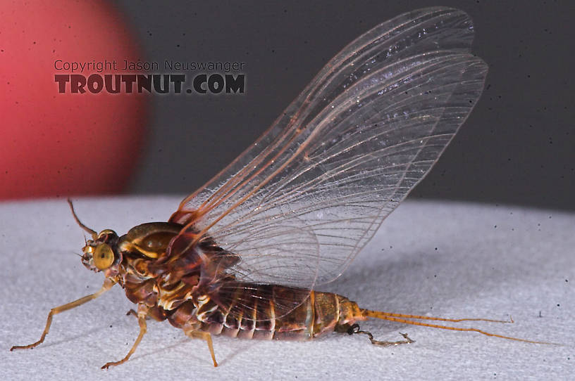 Female Baetisca laurentina (Armored Mayfly) Mayfly Spinner from the Bois Brule River in Wisconsin