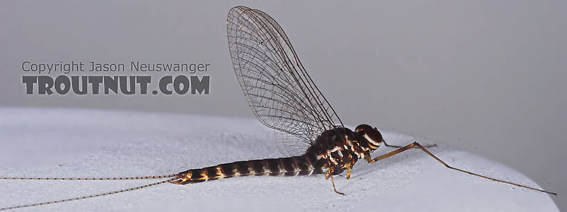 Male Siphlonurus quebecensis (Gray Drake) Mayfly Spinner from the Namekagon River in Wisconsin