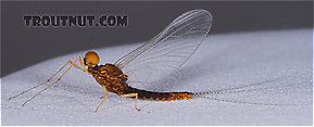 Male Eurylophella (Chocolate Duns) Mayfly Spinner