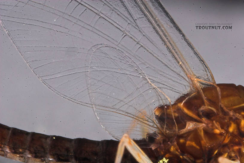 Male Eurylophella (Chocolate Duns) Mayfly Spinner from the Namekagon River in Wisconsin
