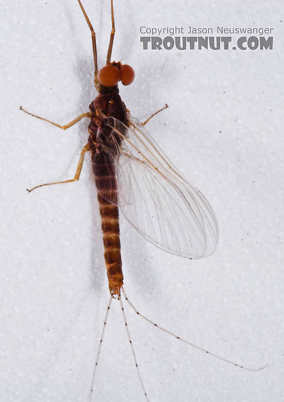Male Ephemerella invaria (Sulphur Dun) Mayfly Spinner from the Teal River in Wisconsin