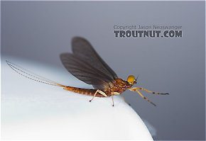 Male Eurylophella (Chocolate Duns) Mayfly Dun