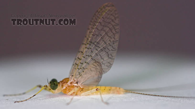 Male Maccaffertium modestum (Cream Cahill) Mayfly Dun from the Teal River in Wisconsin