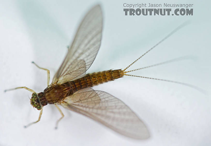 Female Eurylophella (Chocolate Duns) Mayfly Dun from the Teal River in Wisconsin